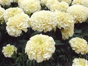 Vanilla Marigolds