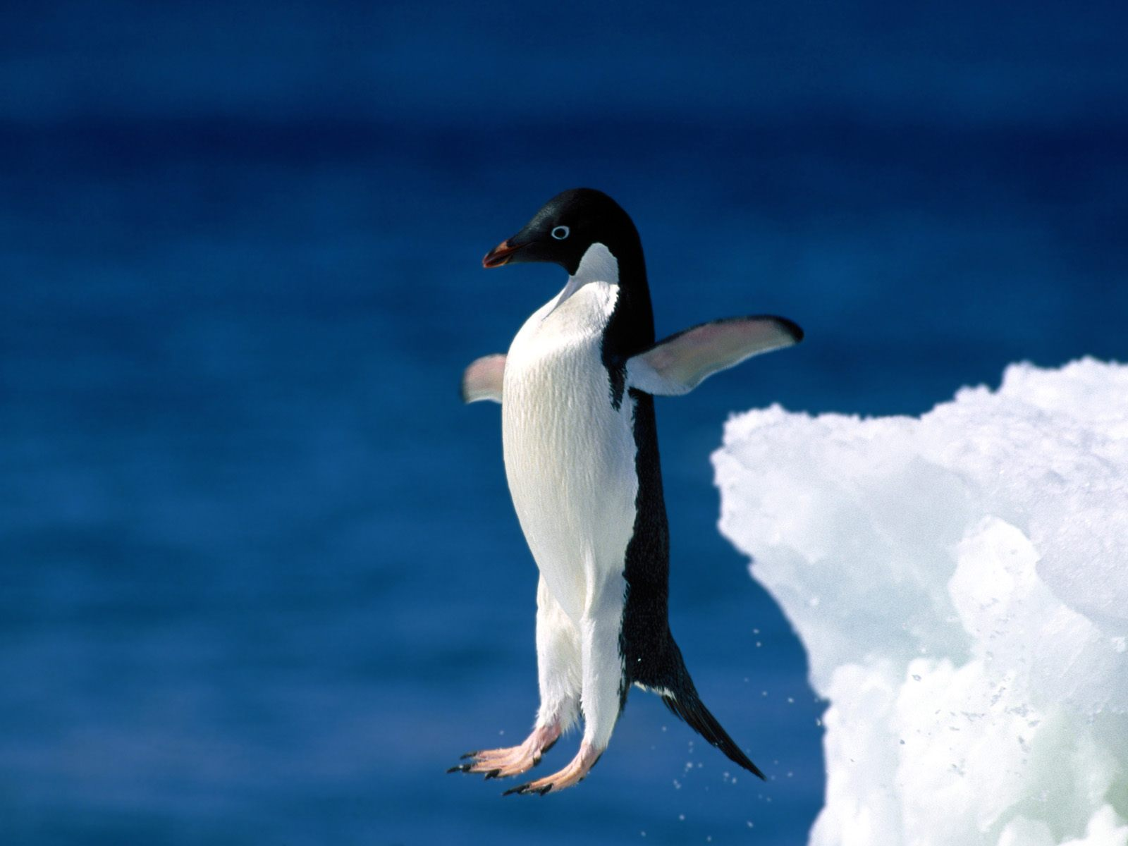 Penguine jumping